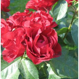 Rosa 'Inge Kläger' - sötét piros virágágyi floribunda rózsa