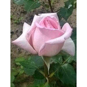 Rosa 'Königlich Hoheit' - Porcelán rózsaszín teahibrid rózsa