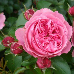 Rosa 'Leonardo da Vinci' - Halvány rózsaszín romantikus rózsa