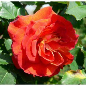 Rosa 'Lydia®' - piros-narancssárga parkrózsa