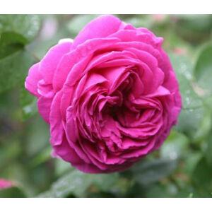 Rosa 'Madame Isaac Pereire' - világos rózsaszín történelmi - bourbon rózsa