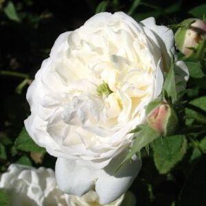 Rosa 'Madame Plantier' - krémfehér történelmi - alba rózsa