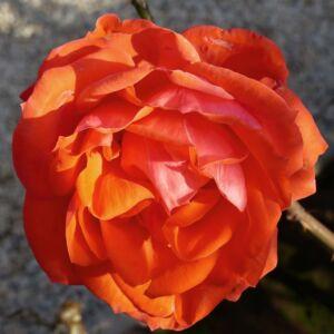 Rosa 'Ondella' - narancs, vagy narancs - piros teahibrid rózsa