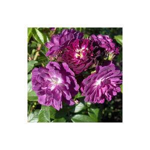Rosa 'Perennial Blue' - lila keverék rambler, kúszó rózsa