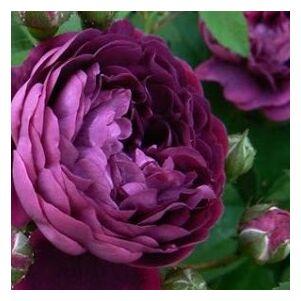 Rosa 'Reine des Violettes' - bársonyos sötét lila történelmi - perpetual hibrid rózsa
