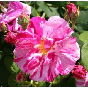 Rosa 'Rosa Mundi' - Világos karmazsinvörös történelmi rózsa fehér csíkokkal