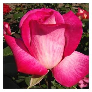 Rosa 'Rose Gaujard' - kárminpiros, a sziromok fonáka halványabb, ezüstös árnyalatú teahibrid rózsa