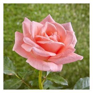 Rosa 'Sweet Promise' - Narancsos rózsaszín teahibrid rózsa