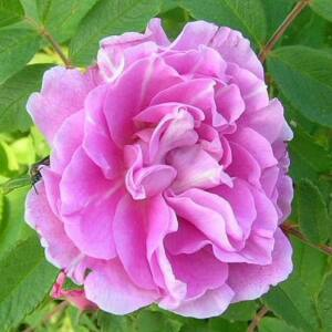 Rosa 'Thérese Bugnet' - Világos vagy sötét rózsaszín termetes rózsa