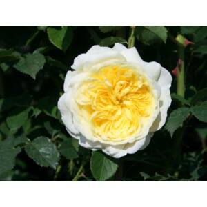 Rosa 'The Pilgrim' - sárga, világosabb külső szirmokkal angol rózsa