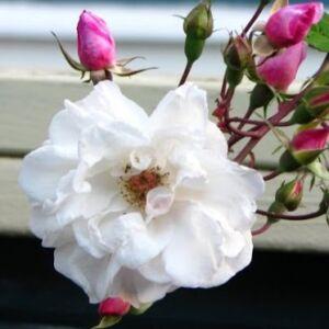 Rosa 'Venusta Pendula' - Fehér-rózsaszín történelmi rózsa