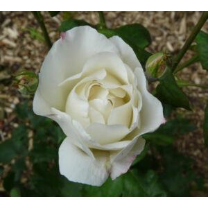 Rosa 'White Queen Elizabeth' - Fehér virágágyi ágyás rózsa