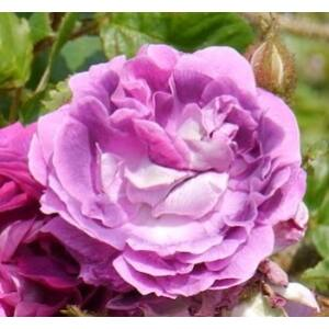 Rosa 'William Lobb' - mályva és lila keverék történelmi - moha rózsa