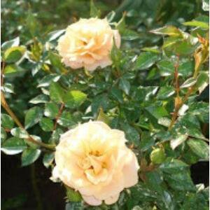 Rosa 'Zorba™' - sárga keverék climber, futó rózsa