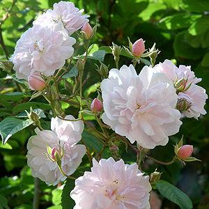 Rosa 'Paul's Himalayan Musk Rambler' - rózsaszín majd fehér virágzatú rambler, kúszó rózsa