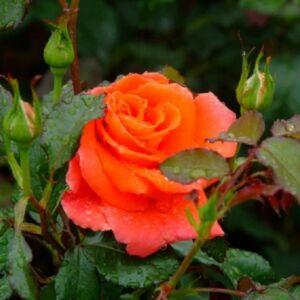 Rosa 'Monika' - Narancssárga magastörzsű rózsaoltvány
