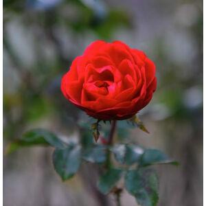 Rosa 'Amica' - élénkpiros narancssárga árnyalattal teahibrid rózsa