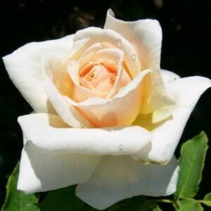 Rosa 'Diamond Jubilee' - világossárga teahibrid rózsa
