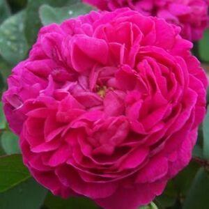 Rosa 'Rose de Resht' - Lilás pirosas színű történelmi rózsa