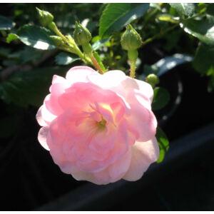 Rosa 'The Fairy' - halvány rózsaszín talajtakaró rózsa