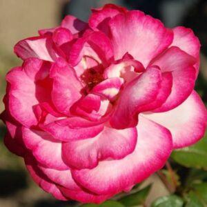 Rosa 'Altesse 75' - fehér kármin-rózsaszín szegéllyel teahibrid rózsa