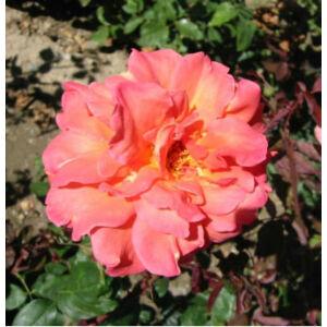 Rosa 'Anne Marie Trechslin' - Mély rózsaszín - teahibrid vágó rózsa