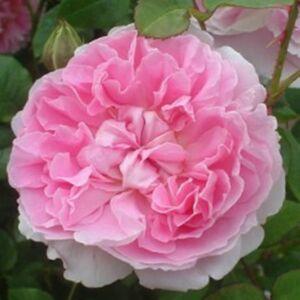 Rosa 'Ausglisten' - rózsaszín angol rózsa