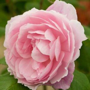 Rosa 'Ausorts' - halvány rózsaszín angol rózsa