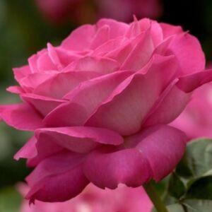 Rosa 'Baronne E. de Rothschild' - sötét rózsaszín teahibrid rózsa