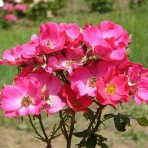 Rosa 'Buisman's Glory' - Karmazsinvörös - virágágyi floribunda rózsa