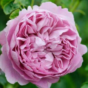 Rosa 'Charles Rennie Mackintosh' - rózsaszín angol rózsa