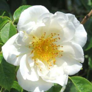 Rosa 'City of York®' - krémfehér, sárga pórzóval climber, futó rózsa