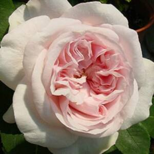 Rosa 'Auslight' - Rózsaszín angol romantikus rózsa