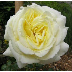 Rosa 'Elfe®' - Krémfehér, sárga árnyalattal - climber, futó - kúszó rózsa