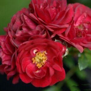 Rosa 'Fairy Rouge' - Piros - talajtakaró rózsa