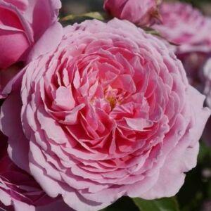 Rosa 'Fluffy Ruffles' - világos rózsaszín virágágyi floribunda rózsa