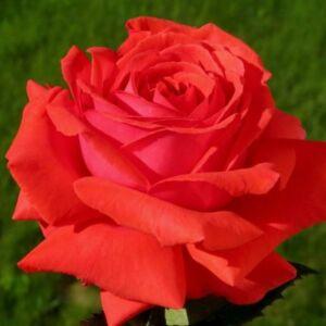 Rosa 'Duftwolke®' - narancssárga vagy narancsvörös virágágyi grandiflora - floribunda rózsa