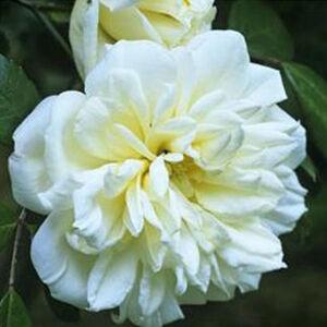 Rosa 'Albéric Barbier' - krémszínű világos sárga centerrel. történelmi - rambler, futó - kúszó rózsa