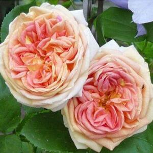 Rosa 'Alchymist®' - lágy rózsaszínes-sárga narancsos árnyékoltságú rambler, kúszó rózsa