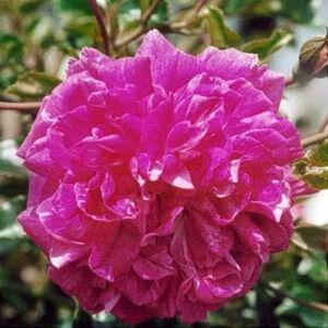 Rosa 'Alexandre Girault' - kármin-rózsaszín, fehér középpel rambler, kúszó rózsa