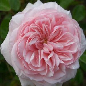 Rosa 'Awakening' - világos rózsaszín climber, futó rózsa
