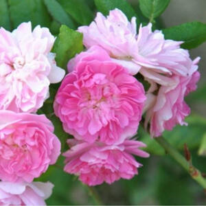 Rosa 'Belle de Sardaigne' - Halvány rózsaszín climber, futó- kúszó rózsa