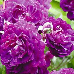 Rosa 'Bleu Magenta' - Lila rambler, futó- kúszó rózsa