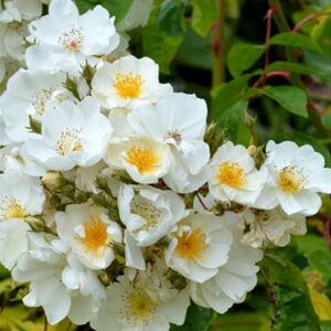 Rosa 'Bobbie James' - krémfehér rambler, kúszó rózsa