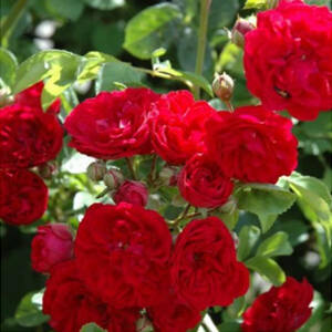 Rosa 'Chevy Chase' - sötét piros rambler, kúszó rózsa
