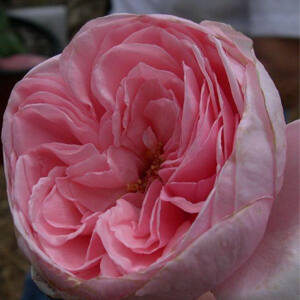 Rosa 'Deléri' - Halvány rózsaszín kúszó rózsa