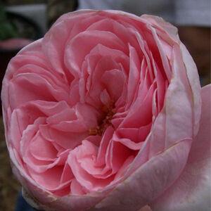 Rosa 'Deléri' - halvány rózsaszín climber, futó rózsa