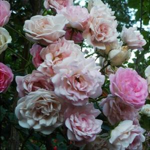 Rosa 'Frau Eva Schubert' - rózsaszín rambler, kúszó rózsa
