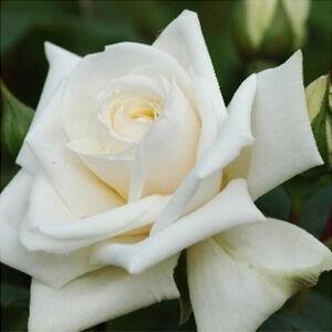Rosa 'Ilse Krohn Superior' - Tiszta fehér climber, futó-kúszó rózsa
