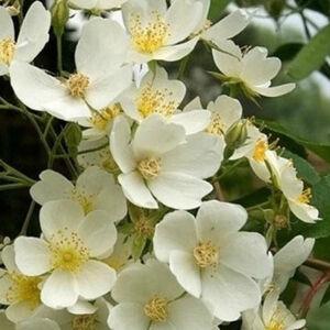 Rosa 'Kiftsgate' - fehér rambler, kúszó rózsa